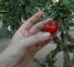 Ilocos cherry